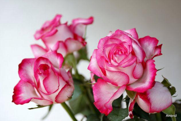 vrtnice.. >3