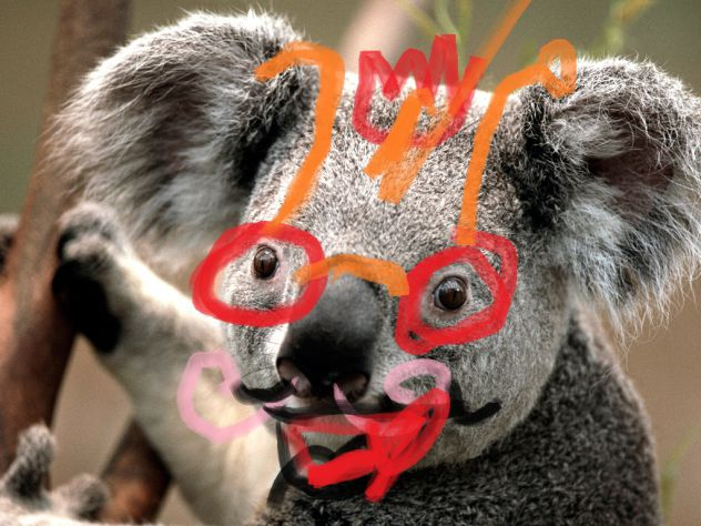 koala po moje
