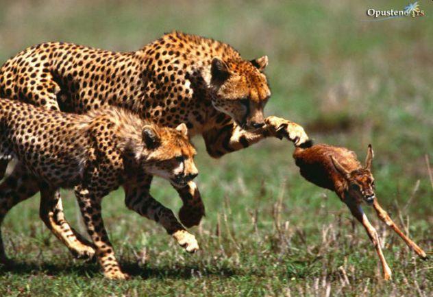 mladunce i gepard
