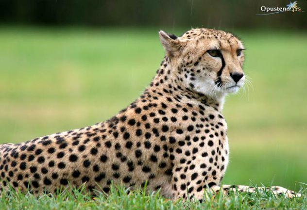 najbraza zivotinja je ona gepard