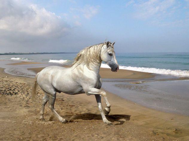 kobila