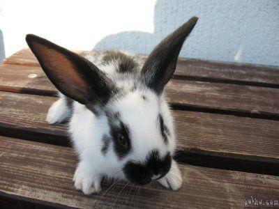 zajčica