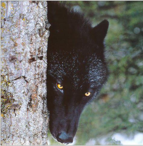 Black wolf is my Spirit