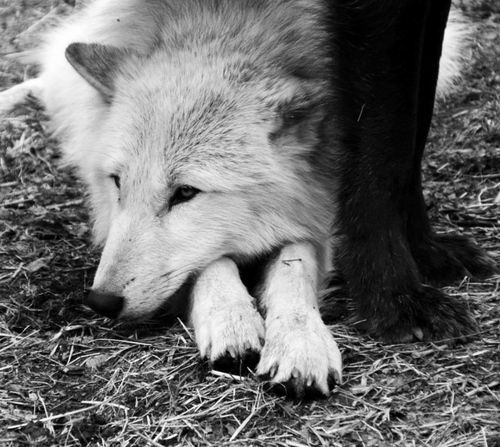 White wolf is my heart