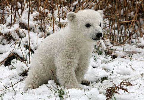 mali beli medvedek