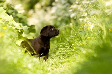 Greeny grass and a brown Labrador puppy = < 3