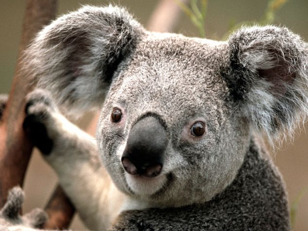 koala koki