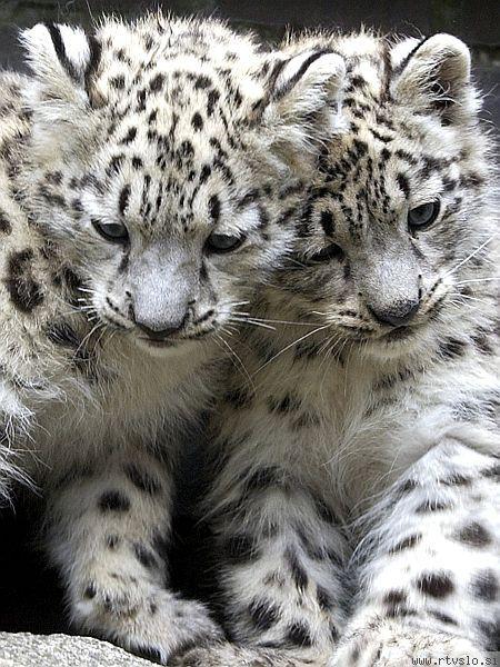 Snežna leoparda