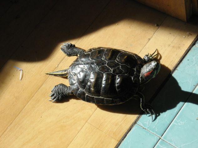 moja želvica