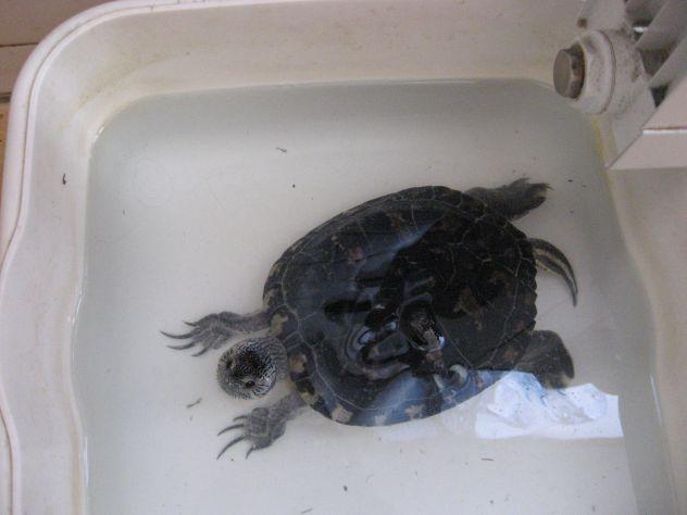 janova želva