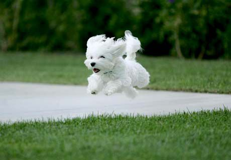 zahodno višavski beli terier... love you! :*