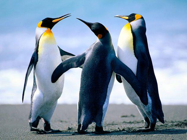 pingvini v ekipi