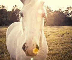 Beli konj