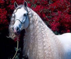 Beli konjiček