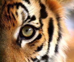 tigerček