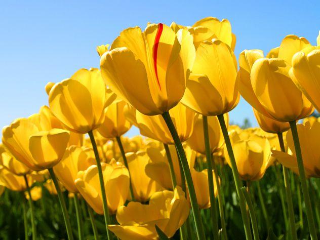 moji tulipani