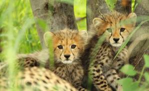 aleks gepard