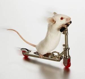 bela miš