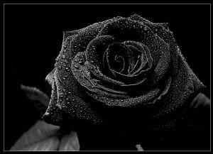 black rose<3_
