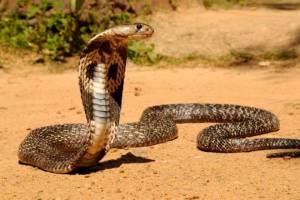 Kobra Kobra
