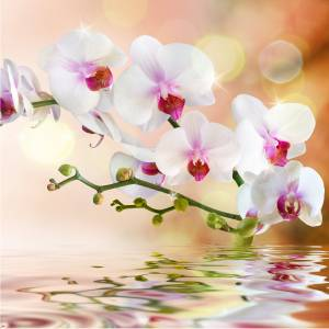 orhidejaa