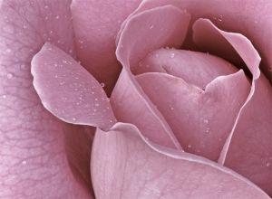 pink rose<3_