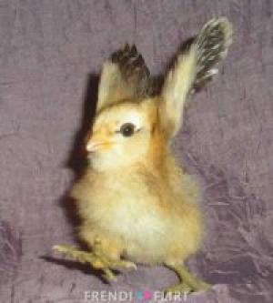 piščanec1#