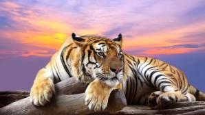 tiger28mb