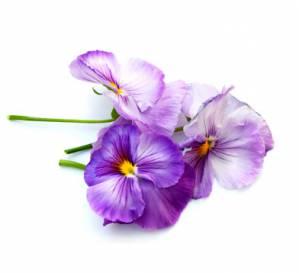 vijolica*2