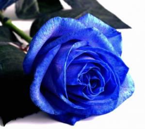 vrtnica_modra