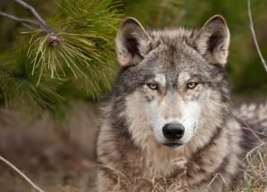 wolf lover*