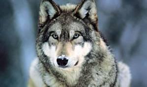 Wolf_boy™
